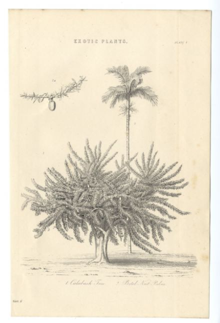 1868 CALABASH TREE Betal Nut Palm Antique Print from Engraving EXOTIC PLANTS Crescentia Areca